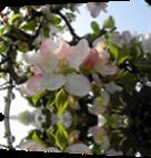 Vign_fleur-de-pommier1