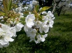 Vign_fleurs_branche